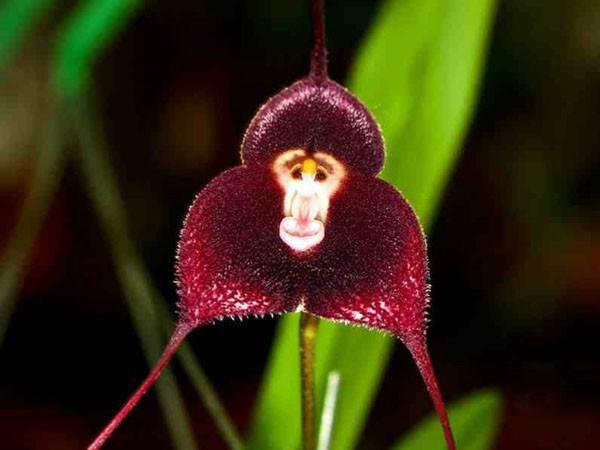 monkeyorchid1